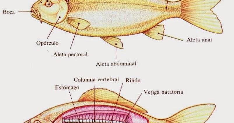 método de la ciencia 2014: Fisiología de un pez