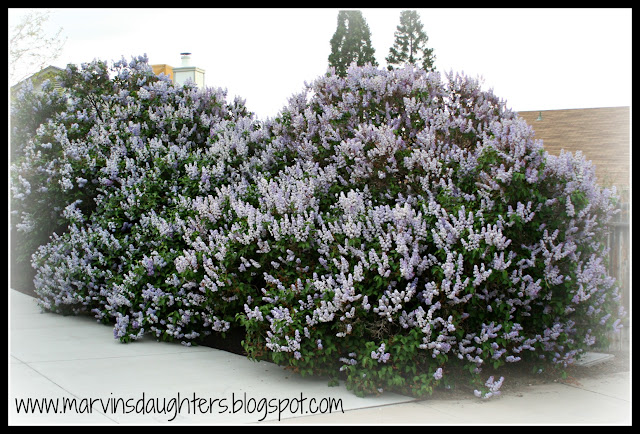 Blooming lilac bushes