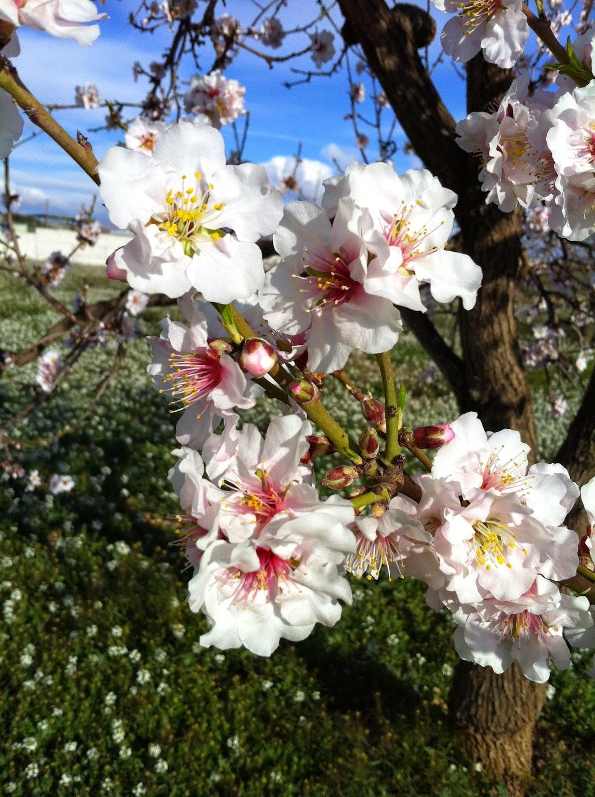 almond flowers