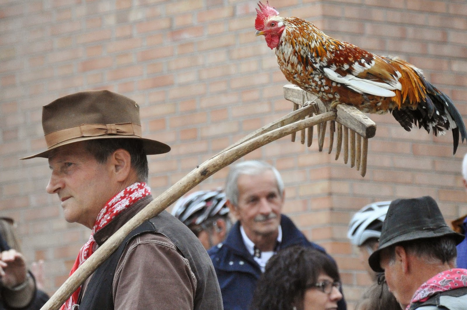 Rooster on a rake at the Parade, Donkey Race, Romano d'Ezzelino, Veneto, Italy