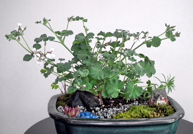 Miniature Garden with Pelargonium xFragrans in bloom