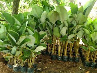 Jual aneka pohon pisang-pisangan | pisang helikonia, pisang kalatea, pisang khana, pisang kipas | tukang taman dan tanaman