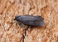 Latest New Micro Moth Species - Lampronia fuscatella