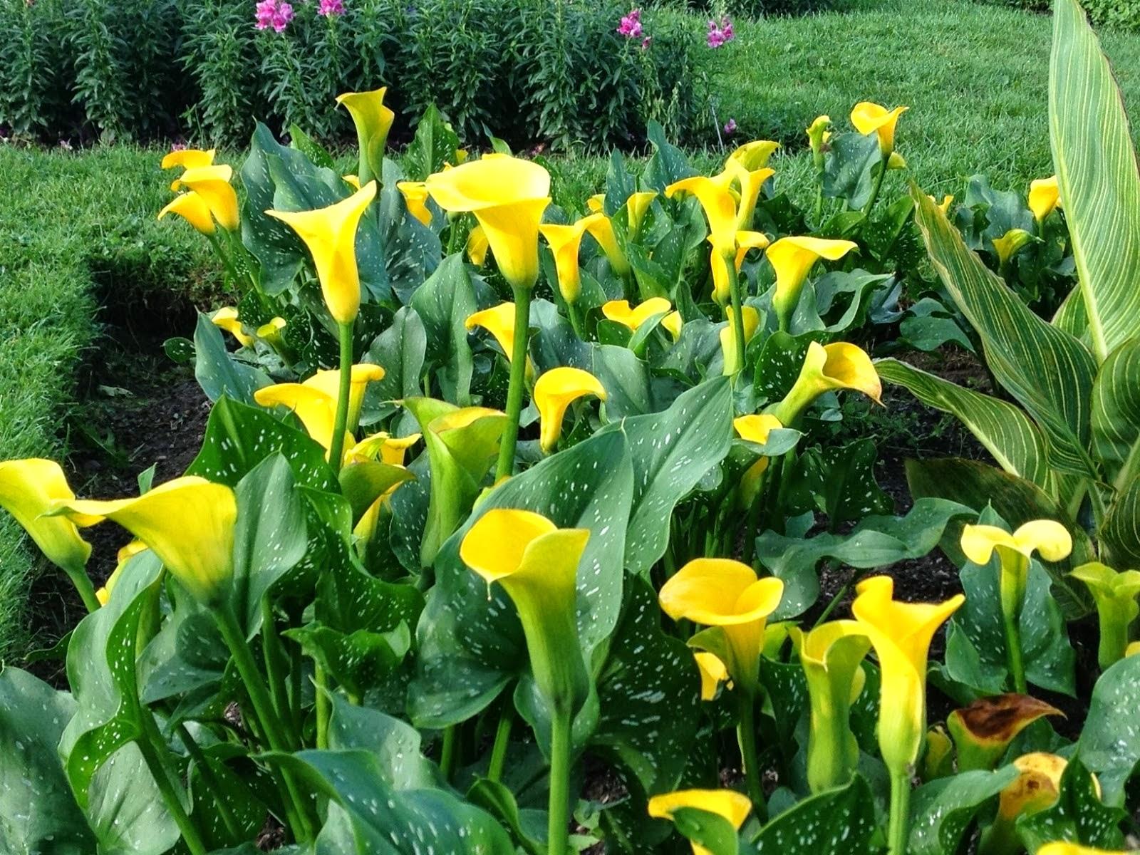 Выращивание цветов каллы и фото