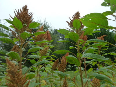 Golden giant amaranth seed heads