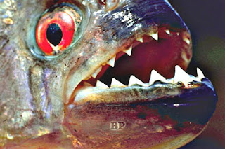Predator_Sungai_Amazon_Piranha