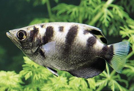 gambar ikan pemanah - gambar ikan