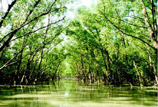 mangroves in sundarban