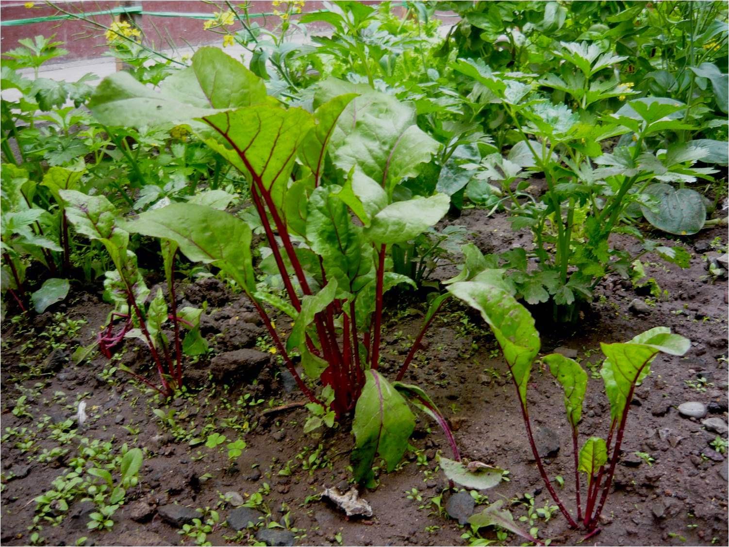 Alternativa ecol gica cultivo de hortalizas en suelos for Que es una mesa de cultivo