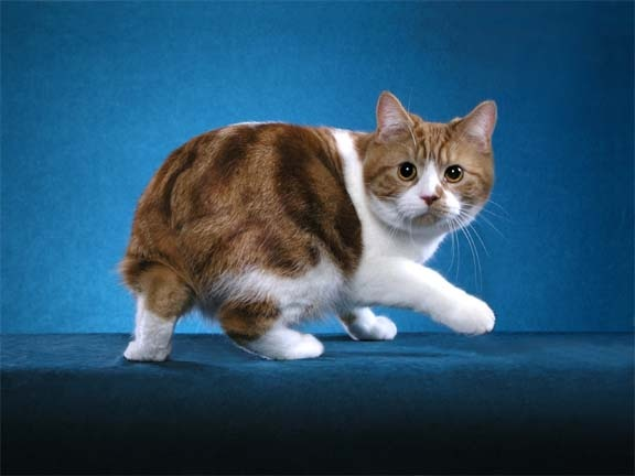 Temperament and Personality of Manx Cat