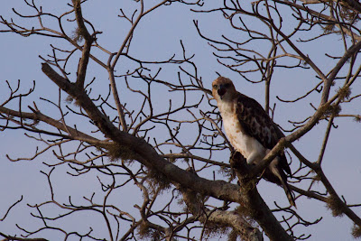 Crested Hawk-Eagle - Yala, Sri Lanka