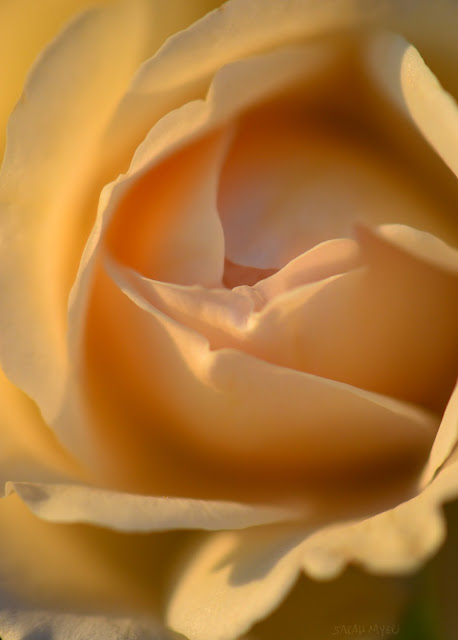 rose, rosebud, sarah myers, photography, heart, photograph, nature, plant, flower, garden, beauty, flores, rosa, macro, close-up, bright, brilliant, hybrid, champagne, ivory, white, swirl, gentle, soft