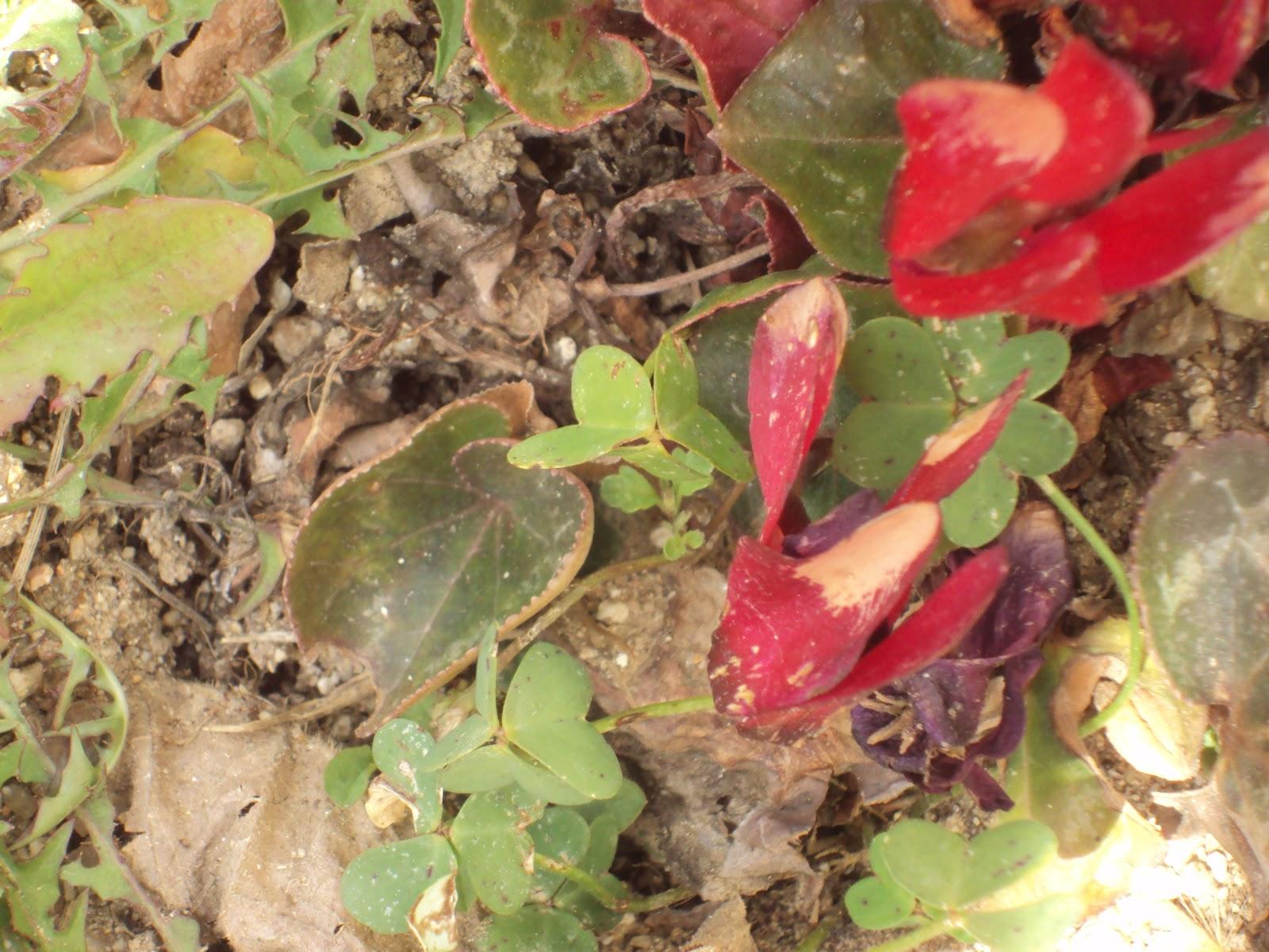 En torno al huerto.: planta aromática