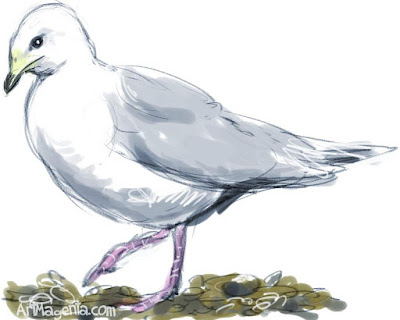 Iceland Gull is a bird drawing by artist and illustrator Artmagenta