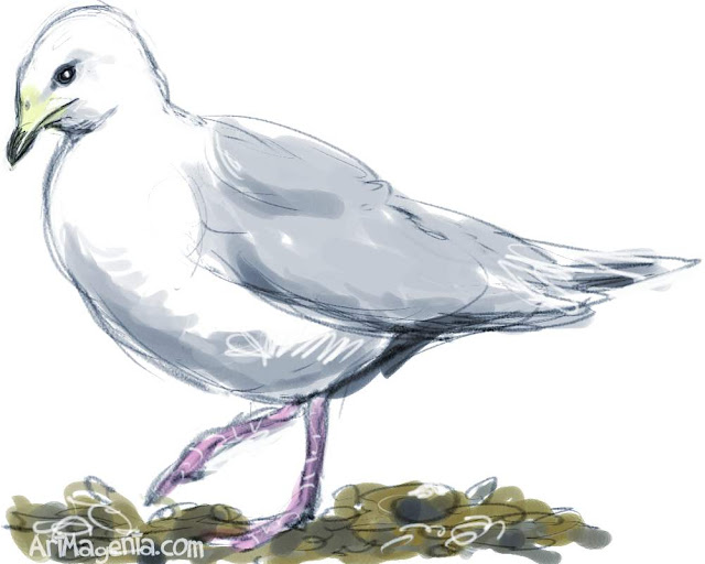 Iceland Gull sketch painting. Bird art drawing by illustrator Artmagenta.
