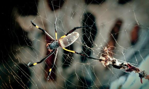 golden silk spider gambia