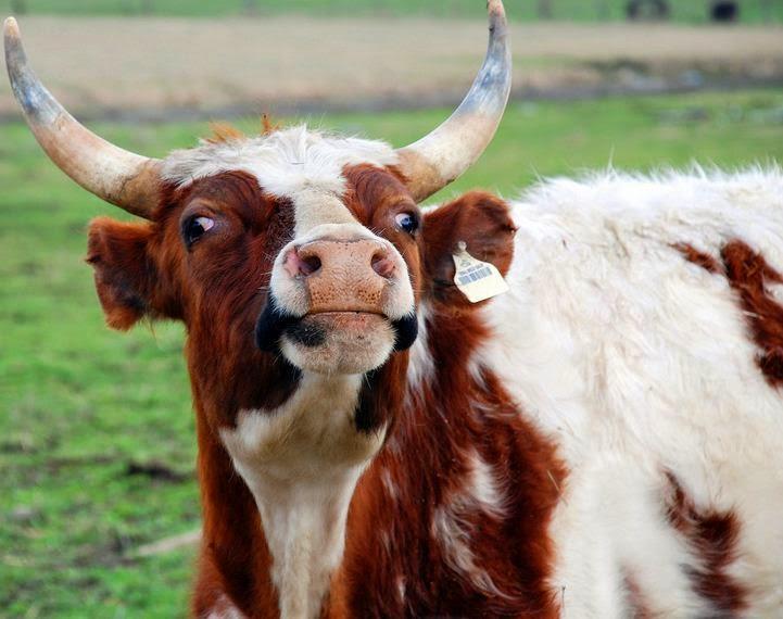 Obligarán a dueños de vacas a fotografiarlas y sacarles ID para protegerlas