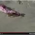 Brasil.- Encuentran un brazo de una extraña criatura en una playa. Vídeo