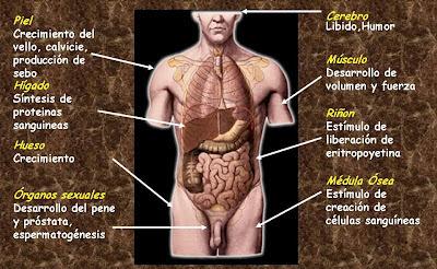 Órganos diana de la testosterona