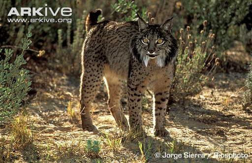snow leopards the characteristics location and threats they face Everything you ever wanted to know about the african leopard home male leopards from the coastal intense persecution they can be found in altered.