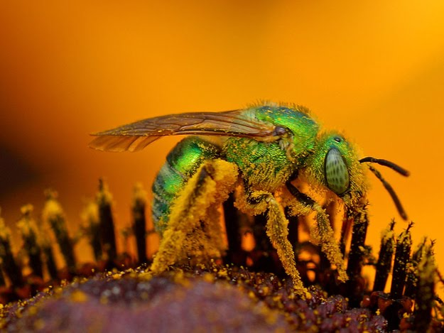 8 oddly colored creatures, amazing creatures, Metallic Green Bees
