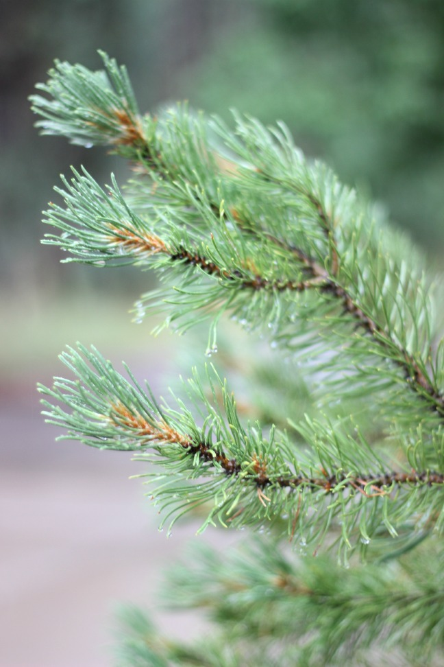 Upclose shot of Pine Tree