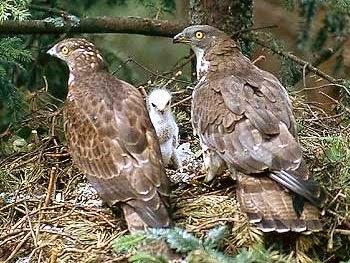 Familia de Halcones Abejeros