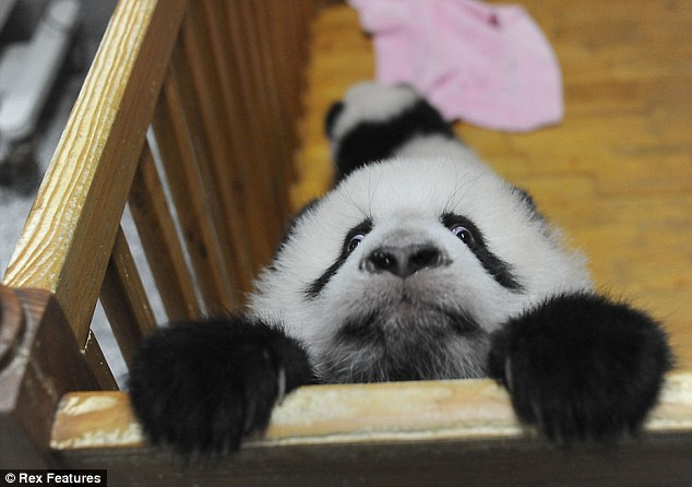 A baby panda tried to escape from her playpen, baby panda escape, cute baby panda