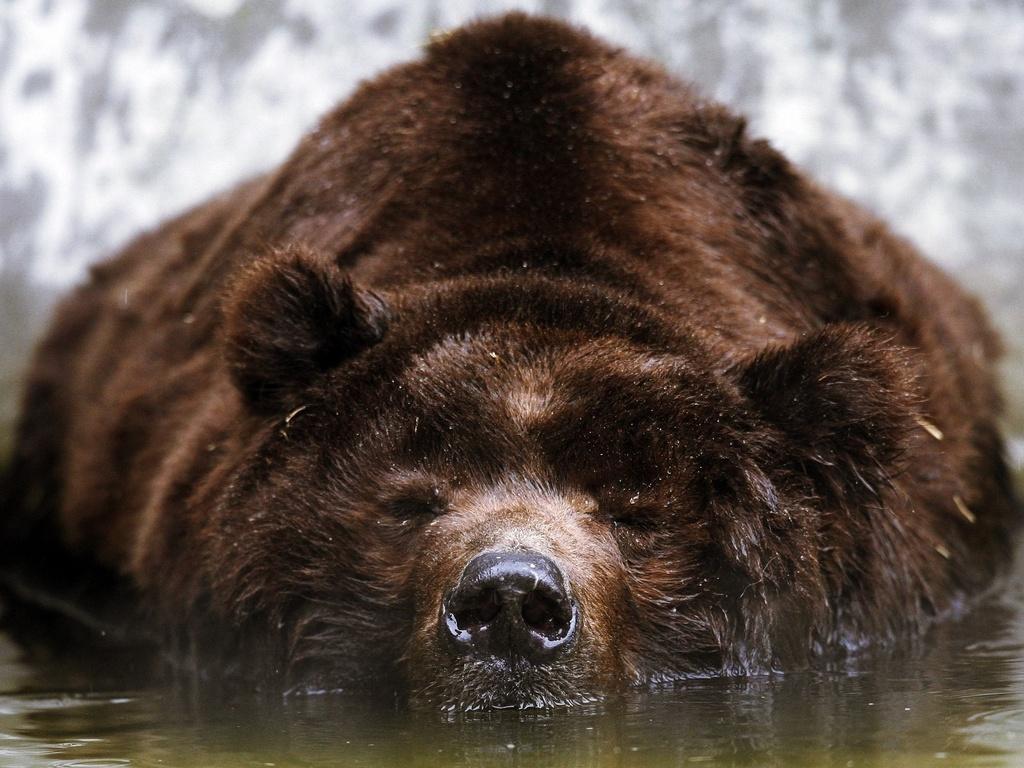 Bear Wallpapers Wallpapers World