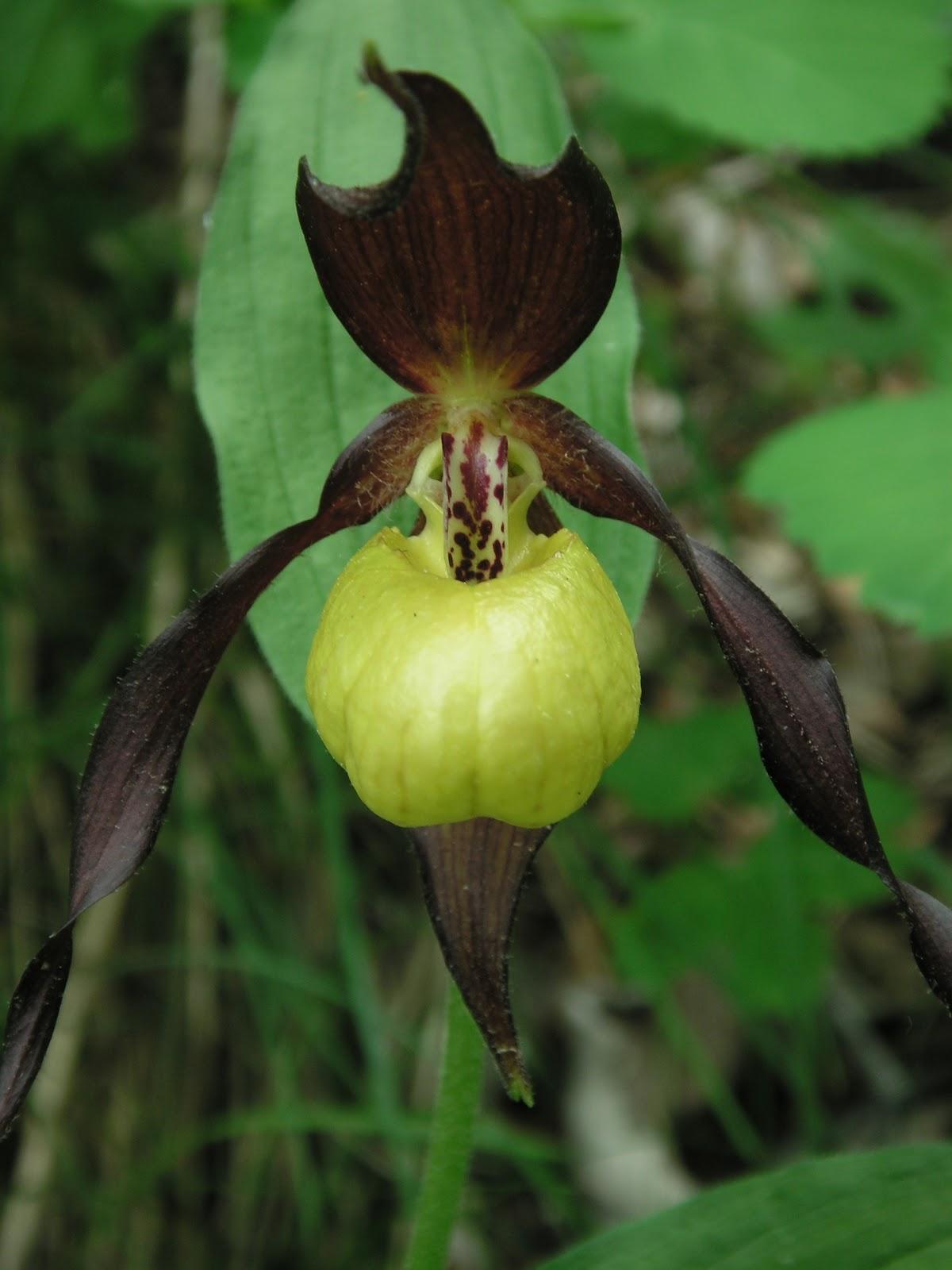 orchid es sauvages de li. Black Bedroom Furniture Sets. Home Design Ideas