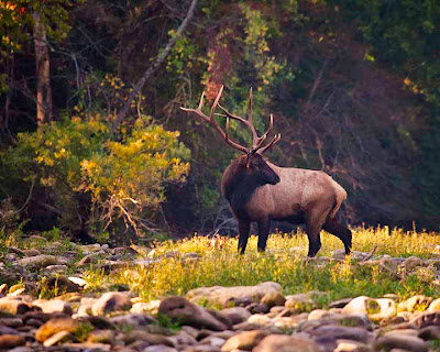 Bull Elk Crossing Buffalo National River