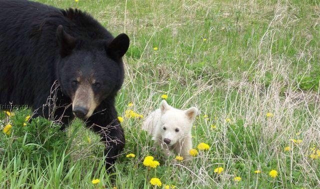 White Wolf : Incredibly rare albino bear cub with her mom ...