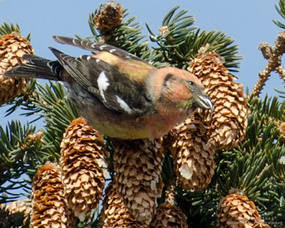 Pink/orange mottled immature male White-winged Crossbill. photo © Shelley Banks, all rights reserved.