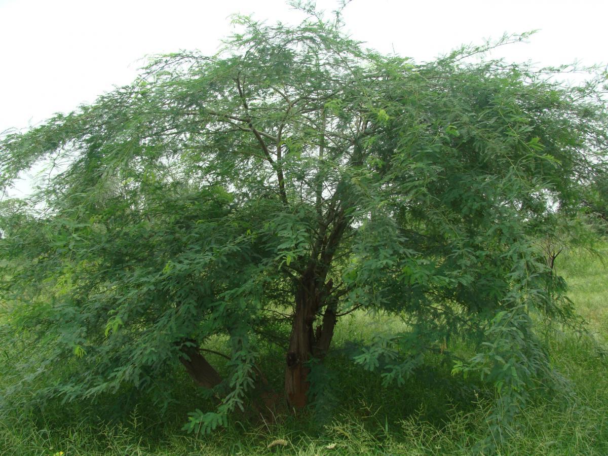 Algarobeira prosopis juliflora klima naturali for Terrace meaning in tamil