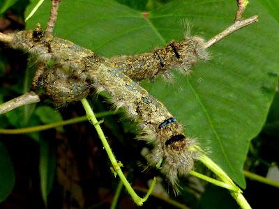 Gastropacha pardale caterpillar