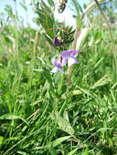 Common Vetch (Vicia sativa)