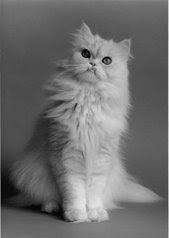 Kucing Persian Untuk Dijual