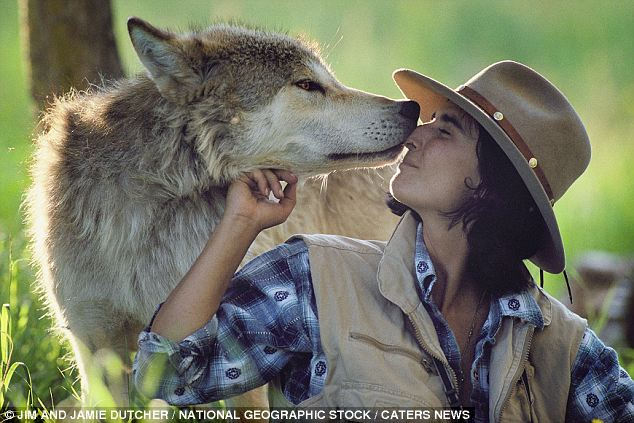 Amazing images of wolves as they were seen by the couple who lived in a ten for SIX YEARS to better.