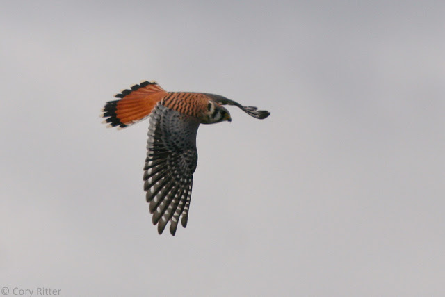 American Kestrel Hawk Ridge