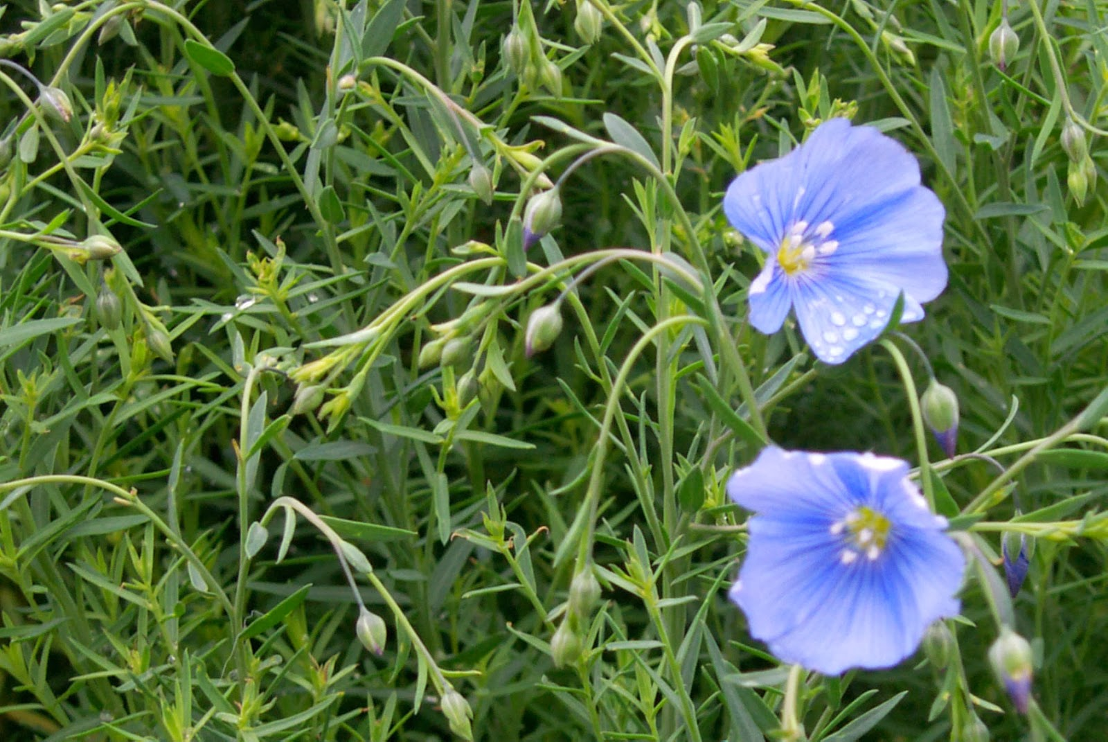 Northern Ireland - Discovering Fibres: Flax