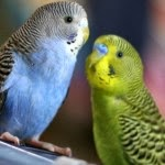 Facts and Information on Bird Parakeet - Maintaining Parakeets
