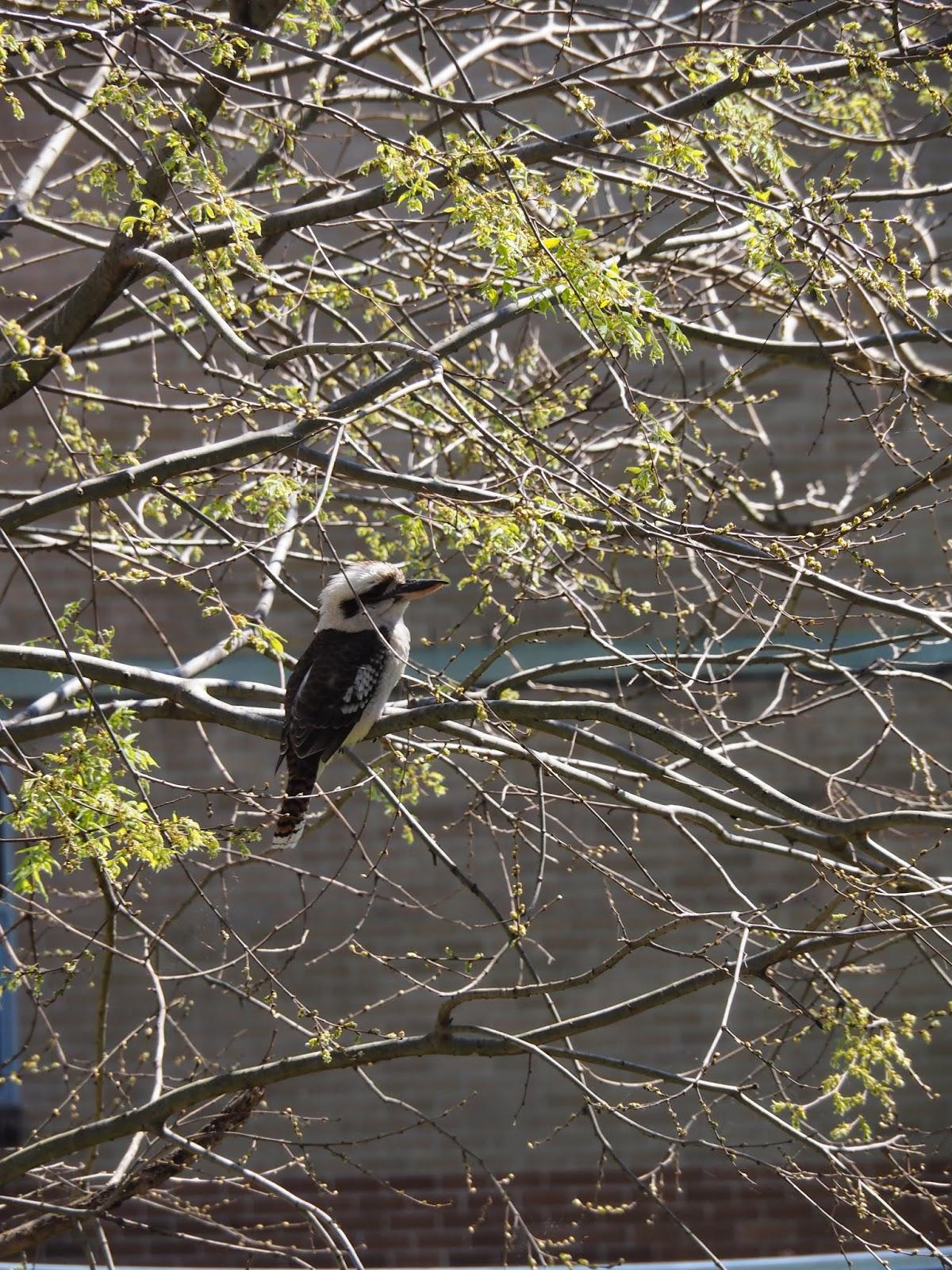 Kookaburra Sydney