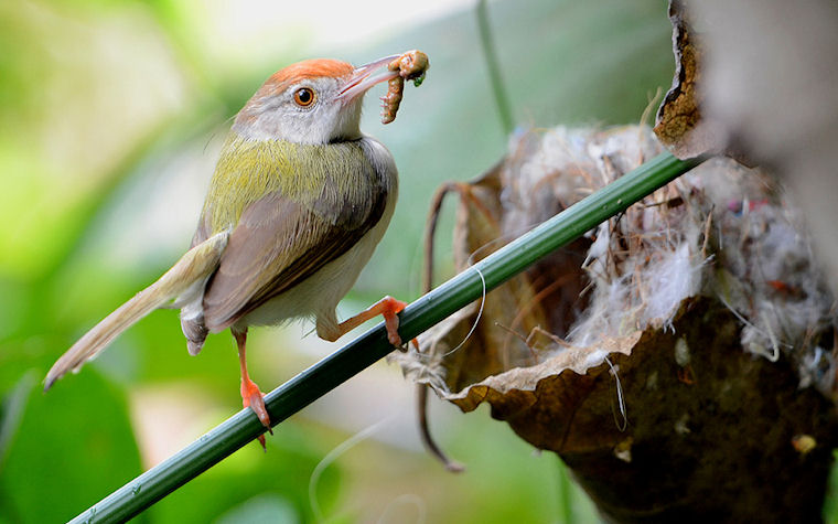 Tailor bird with catch by Vishwajeet Naik