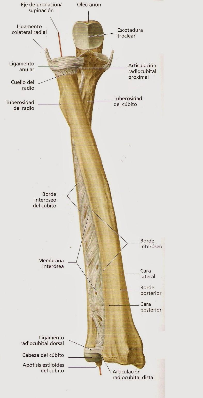 El codo y el antebrazo: biomecánica, articulaciones y técnicas de ...