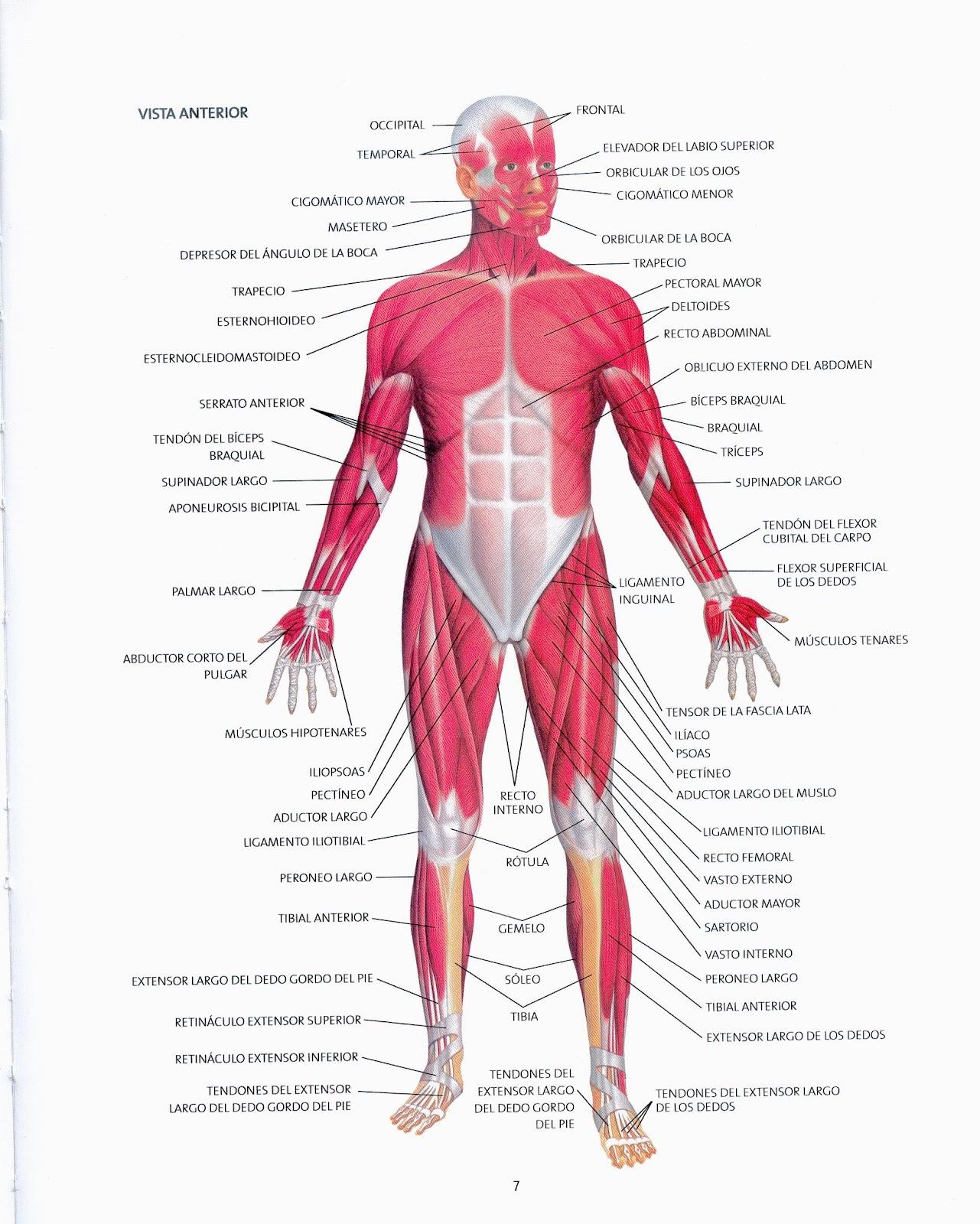 Musculos Del Cuerpo Humano Imagenes Y Nombres