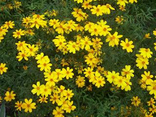 dalat wild sunflowers