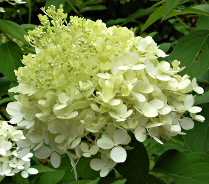 my carolina yard hydrangea care pruning. Black Bedroom Furniture Sets. Home Design Ideas