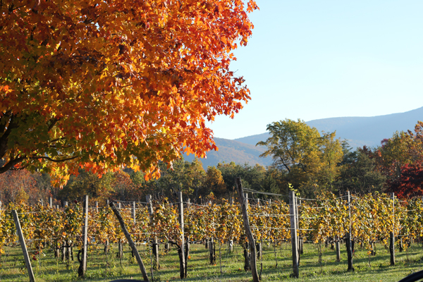 vineyard with leaves changing colors