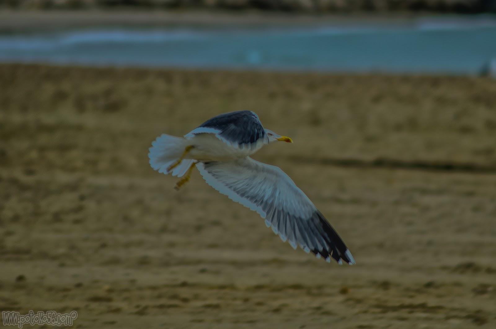 Gaviota en la playa del Chorrillo en Rota