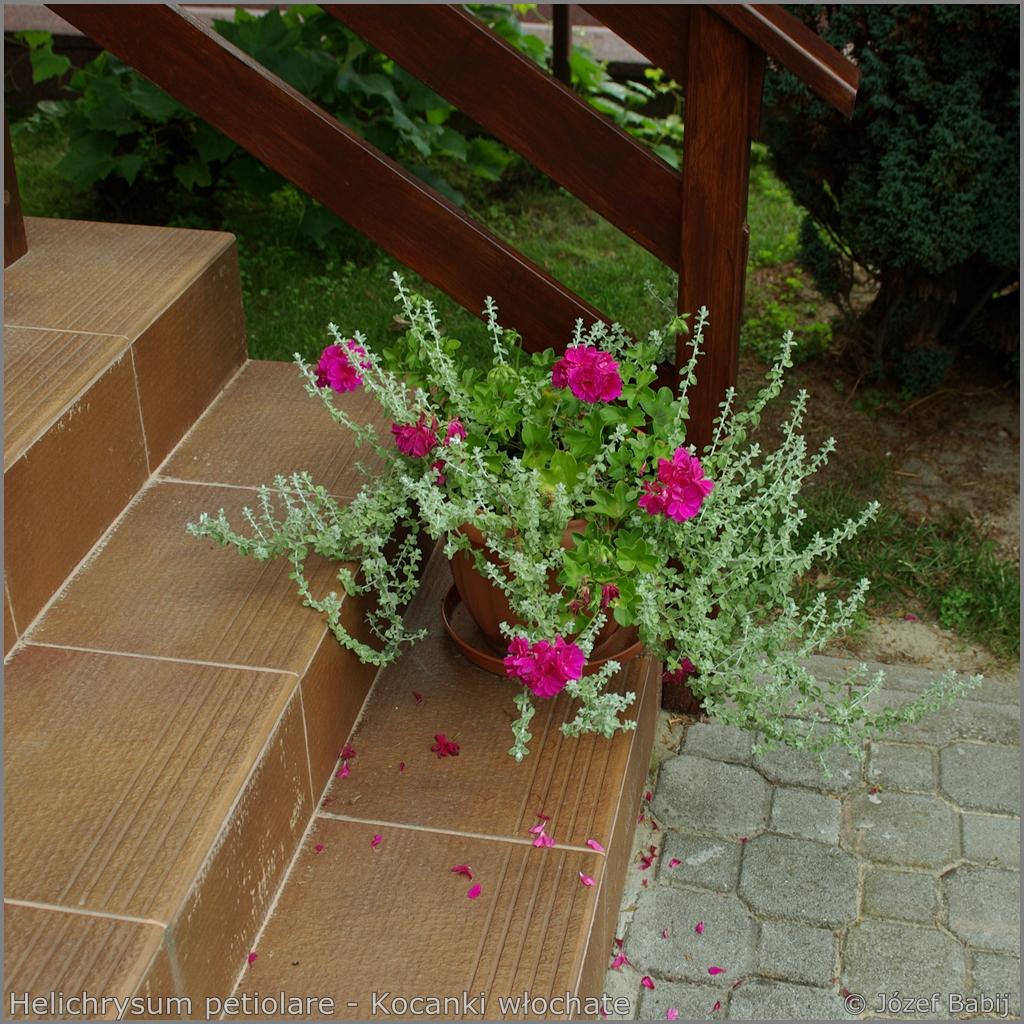 Helichrysum petiolare - Kocanki włochate